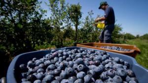 Superficie de arándanos alcanzaría las 14.789 hectáreas en campaña 2020/2021