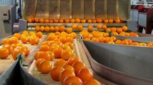 Todavía hay muchas áreas de mandarinas con semillas donde debe hacerse un recambio varietal