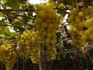 """""""Trabajando la calidad de la uva de mesa"""""""