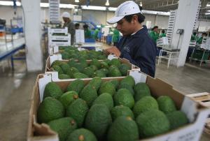 Trabajo del Senasa para abrir nuevos mercados para la palta está más orientado al continente asiático