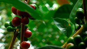 U.E. promueve siembra de árboles en fincas de café para jubilación de cafetaleros