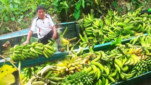 Ucayali: Devida transfiere S/ 589.975 para mejorar producción de plátano en 600 hectáreas