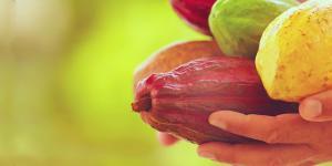 Un 70% del cacao orgánico peruano se procesa