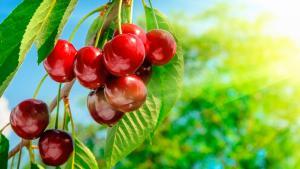 Una industria peruana exportadora de cerezas debe aprovechar la misma ventana comercial del arándano