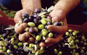 Unesco: El olivo contribuye al desarrollo económico y social de los pueblos