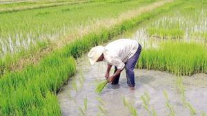 Urge frenar el sobrecultivo de arroz en Piura