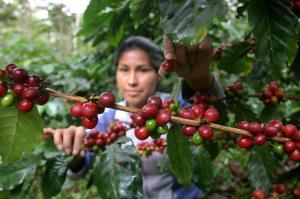USAID Perú: Alianza para la Excelencia en Café benefició a más de 8.000 familias caficultores de Tingo María, Tocache y Moyobamba