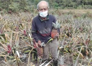Usuario de Pensión 65 incursiona en el cultivo de piñas orgánicas durante la pandemia en Oxapampa