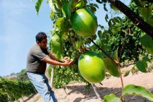Valor bruto de la producción agropecuaria se incrementó 3.6% en enero de este año