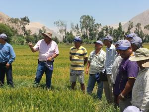 Yara lanza en Piura campaña Arroz Dorado para elevar la productividad de 1,500 agricultores de arroz