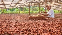 40% de la producción nacional de cacao podría perderse