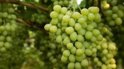 Aartsen llevará uvas peruanas a Holanda