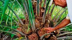 Aceite de palma peruana hacia un acuerdo libre de deforestación