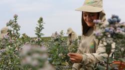 Agrícola Cerro Prieto duplicará su producción de arándanos en la campaña 2020/2021