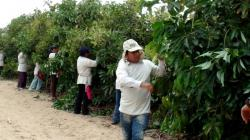 Agrícola Cerro Prieto exportó 21 mil toneladas de palta Hass en la campaña 2019