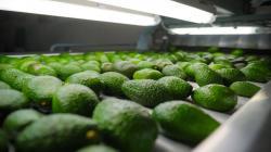 Agrícola Chapi cierra campaña de palta con 7.8 millones de kilos exportados