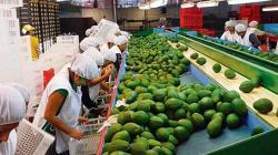 Agroexportaciones peruanas suman US$ 353 millones en marzo, mostrando una contracción de 11%