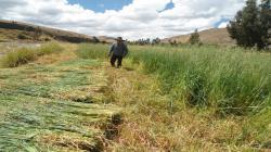 AgroRural instalará 128.000 hectáreas de pastos