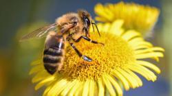 Al menos un tercio de las polinizaciones de cultivos alimenticios en el mundo se realiza gracias a las abejas