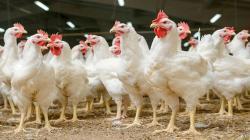 Alimencorp lanzará nuevos productos para el sector avícola este año