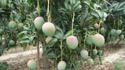 Altas temperaturas aumentarían demanda hídrica de frutales en Piura y Lambayeque