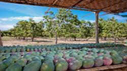 Altas temperaturas no tienen impacto en producción agrícola de Piura