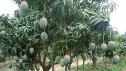 Altas temperaturas ocasionarían mayor demanda hídrica en cultivos como mango, palto y limón