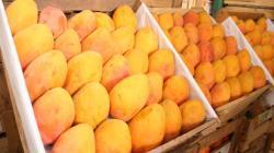Áncash: coronavirus paralizó exportación de 10 mil toneladas de mango hacia China