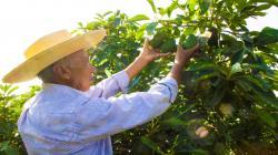 Áncash: fortalecen capacidades en el uso de guano de las islas en cultivos de paltos