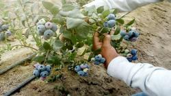 Áncash: Productores de Lacramarca incrementan producción de arándanos