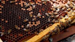 Apicultores piden al nuevo gobierno una mayor fiscalización de pesticidas perjudiciales para las abejas