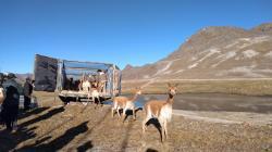 Apurímac: 100 vicuñas fueron liberadas en Abancay