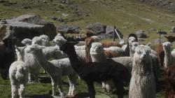 Apurímac: AgroRural protegerá a más de 128.000 cabezas de ganado