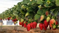 Área instalada de fresa crecería 30% este año