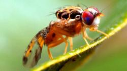 Argentina vende 440 millones de moscas estériles a Marruecos para controlar plagas