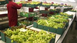 Arribos de uva de mesa de Perú llegarían concentrados a mercados de destino