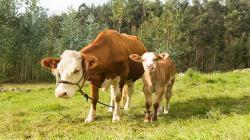 Asignarán aretes de identificación al ganado vacuno de Cajamarca