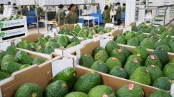 Avanzan las gestiones para abrir el mercado colombiano a la palta Hass de Perú