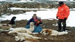 Bajas temperaturas nocturnas en la Sierra amenazan vida de alpacas