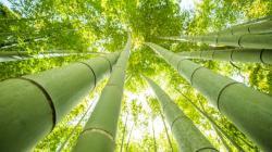 Bambú, un aliado eficaz para mitigar el cambio climático en Perú