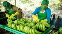 Banano orgánico en Sullana: el fruto que mejoró la vida de 84 pequeños productores y sus familias