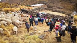 Buscan mejorar la calidad de la fibra de alpaca en Huancavelica