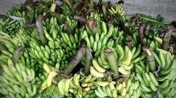 Buscan promover cultivo de plátano para mejorar calidad de vida de los agricultores
