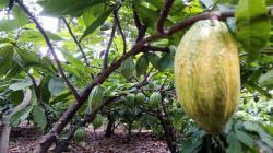 Cacao Gran Blanco de Piura gana el Premio Nacional de Calidad