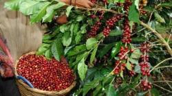 Café del Perú incursiona a nuevos mercados