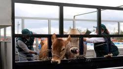 Cajamarca abastece con más de 140 mil animales el mercado nacional