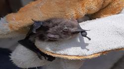 Cajamarca: rescatan murciélagos atacados con fuego por pobladores y resaltan que no son dañinos
