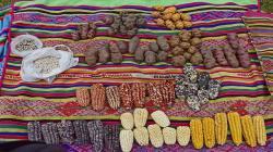 Ccollasuyo es reconocida como zona de agrobiodiversidad del Perú