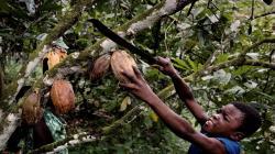 Cerca de 1.6 millones de niños trabajan en la producción de cacao