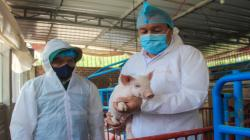 Cerca de 600 mil porcicultores se verían afectados si ingresa Peste Porcina Africana a nuestro país